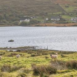 Des moutons et de l'herbe verte, au coeur du Connemara.